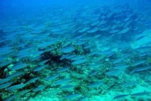 School of fish swimming in the ocean photo
