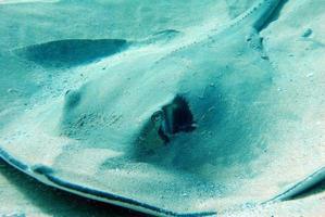 Manta Ray on the ocean bottom photo
