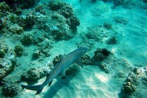 Shark swimming along the ocean bottom photo
