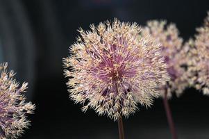 Inflorescencia floral de ajo ornamental. foto