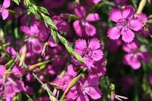 Small pink flowers of the carpet plant photo