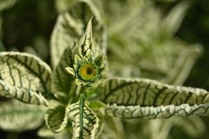 Perennial nursery plant with variegated leaves and yellow bud photo