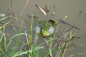 A green frog at the stem of a grass growing in the water photo