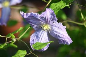 Blue ring of climbing witch Clematis photo