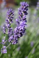 Lilac small lavender flowers on a vertical stem photo