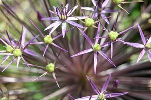Light purple flowers of decorative garlic photo