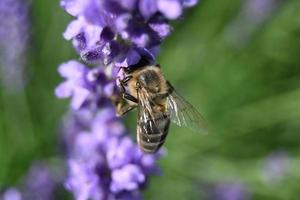 The bee collects honey on lavender flowers photo