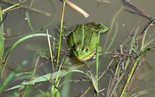 Green frog among the grass at the shore photo
