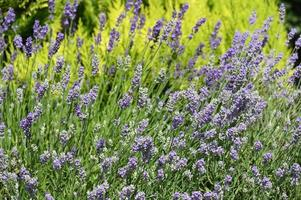 A large field of flowering lavender photo