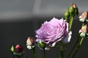 Purple rose ring with many buds photo