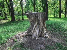 The big stump in the greenwood. Kharkov, Ukraine photo