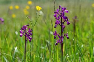 orquídea de jersey reino unido primavera pantano flores silvestres foto