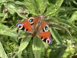 mariposa pavo real reino unido verano lepidópteros foto