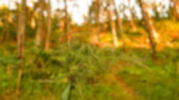 Foto borrosa de plantas silvestres que prosperan en el bosque de pinos