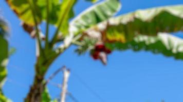 Foto borrosa de árboles de plátano y frutas frescas sobre fondo de cielo despejado