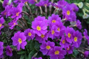 Fondo de flores de color púrpura. Petunia en flor en primavera o verano en un macizo de flores. foto