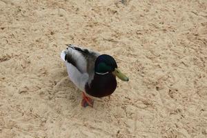 pato salvaje en la vista superior de la orilla arenosa. drake en la arena foto