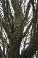 Background of a branchy tree without foliage. Bark texture. Late fall photo