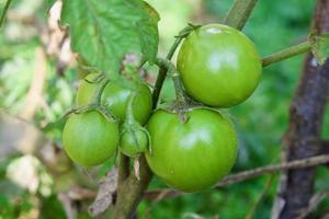 primer plano grupo de tomates verdes que crecen en invernadero. marco horizontal. fondo borroso foto