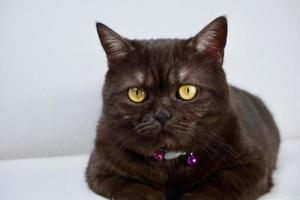 Cute black smoke british shorthair cat sitting on a white background looking across photo