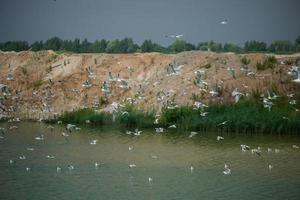 una gran cantidad de gaviotas vuelan sobre el lago. foto