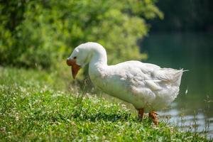 A white goose with an orange beak walks on the grass on the shore of the lake. photo
