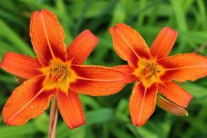 flor de lirio naranja sobre un fondo verde foto