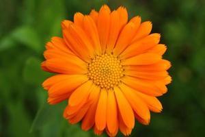Orange calendula flower close-up photo