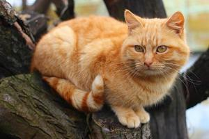 Red cat sitting on a tree photo