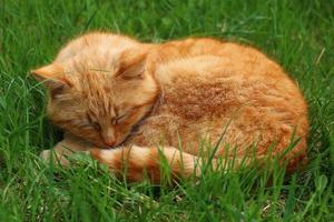 Beautiful red cat sleeping in the grass. photo