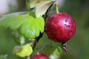 Red gooseberry. The berries grow on a sunny day. photo