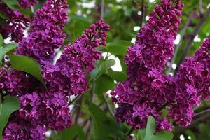 Purple lilac flowers. Spring bushes. photo