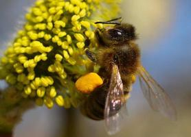 The bee collects nectar and pollen on a willow. photo