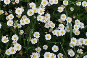 manzanillas. pequeñas flores en verano. foto