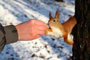 alimenta a una ardilla con una nuez en un parque de invierno. foto