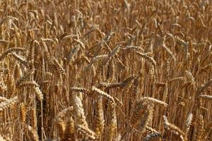 Yellow ripe wheat in summer close-up. photo