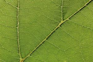 Green grape leaf with streaks close-up photo