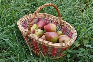 Pear takes in the basket. Summer harvest. photo