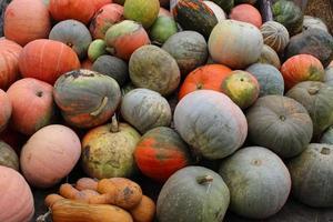 muchas calabazas en el otoño. la cosecha del agricultor. foto