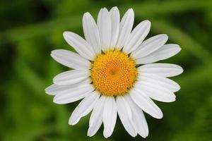 primer plano de flores silvestres de manzanilla blanca. foto