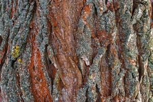 superficie rugosa de la corteza de los árboles. antecedentes interesantes. foto