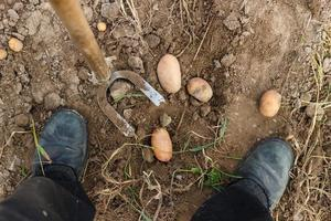 Digging potatoes with a hoe photo