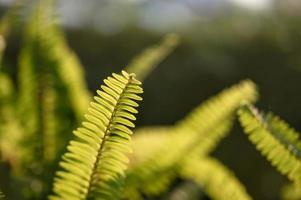 Fern green leaves in garden on natural background photo
