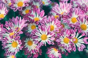 Margarita flor rosa con polen amarillo que florece en el jardín foto