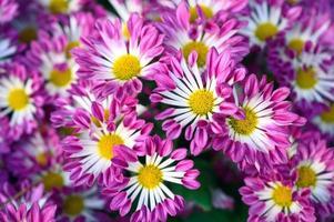 Margarita flor rosa que florece en el jardín foto