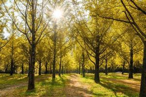 Ginkgo biloba trees in garden on autumn at Hongcheon, South Korea photo