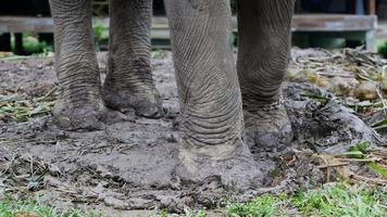 pernas de close-up de um elefante acorrentado em um acampamento de elefantes. video