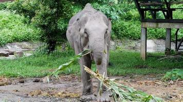 um elefante come milho enquanto suas pernas estão acorrentadas em um acampamento de elefantes. video