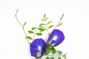 Composition of butterfly pea flower with green leaves photo