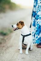 Un pequeño perro de la raza jack russell terrier en un paseo foto